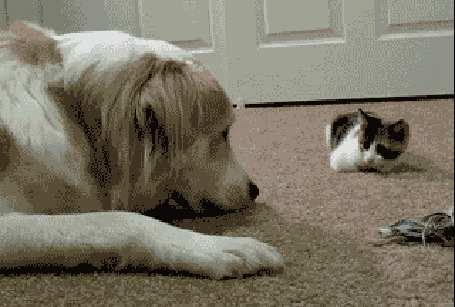 Анимация Маленький котенок нападает на большую собаку, а та недоуменно на него смотрит (© Anatol), добавлено: 13.04.2015 21:29