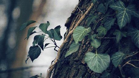 Анимация Колышущиеся листья плюща на дереве (© zmeiy), добавлено: 14.04.2015 12:39