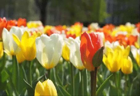 Анимация Разноцветные тюльпаны, слегка покачивающиеся на легком ветерке (© Георгий Тамбовцев), добавлено: 14.04.2015 20:24