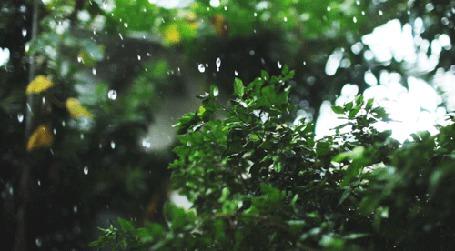 Анимация Капли дождя падают на зеленые ветви кустов (© BlackAssol), добавлено: 16.04.2015 15:06