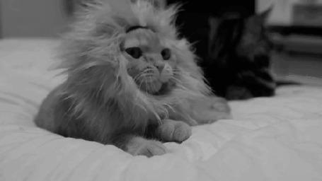 Анимация Зевающий кот с львиной гривой (© BlackAssol), добавлено: 16.04.2015 15:16