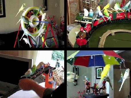 Анимация Множество попугаев участвуют в различных аттракционах (© Anatol), добавлено: 16.04.2015 19:21