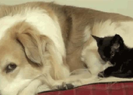 Анимация Черный котенок примостился рядом с большой собакой и вылизывает ей шерсть (© Anatol), добавлено: 16.04.2015 19:23