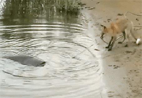 Анимация Лисица вытягивает из воды большого сома