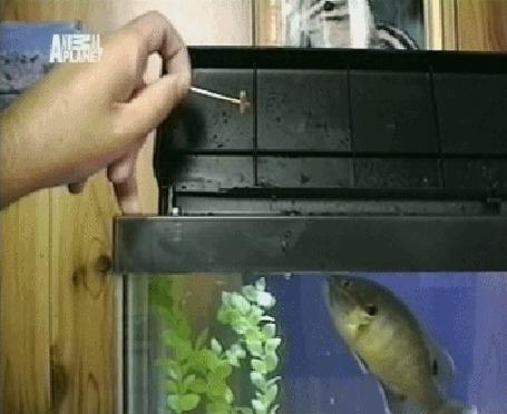 Анимация Аквариумная рыба выпрыгивает из аквариума за очередной порцией корма