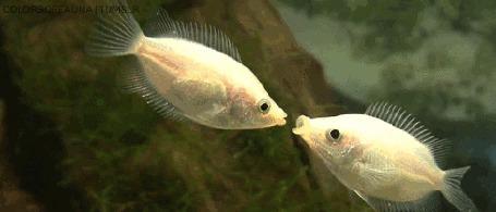 Анимация Две аквариумные рыбки обмениваются поцелуями