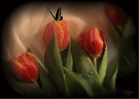 Анимация Над одним из оранжевых тюльпанов с листьями порхает черно-зеленая бабочка (© Solnushko), добавлено: 20.04.2015 12:33