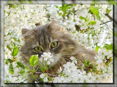 Анимация Кошка с зелеными глазами сидит среди белых цветов, растущих на дереве, и смотрит на нас