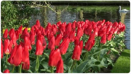 Анимация На берегу реки, в которой плавают лебеди, растут красные тюльпаны (© Svetlana), добавлено: 20.04.2015 18:47