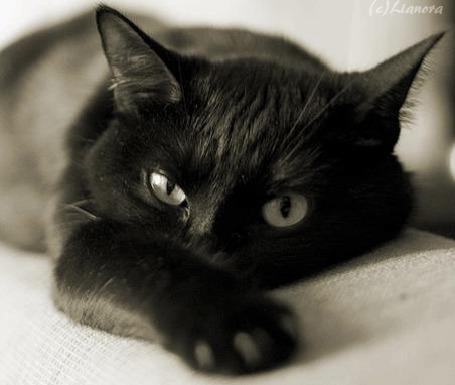 Анимация Черный кот лежит на белой поверхности, протянув одну лапку вперед (© Svetlana), добавлено: 20.04.2015 18:52