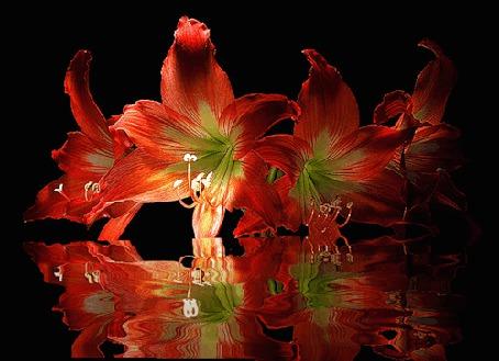 Анимация Красные лилии отражаются в воде