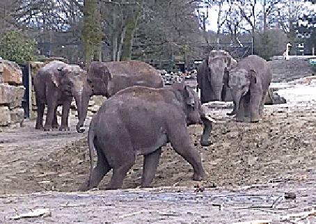Анимация Слоны выясняют отношения, не прибегая к жестоким мерам (© Anatol), добавлено: 21.04.2015 00:40