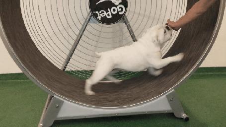 Анимация Собака крутится в неком подобии беличьего колеса (© Anatol), добавлено: 21.04.2015 00:43