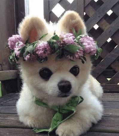 Анимация Белый щенок лежит на деревянном полу веранды с веночком из цветов на голове (© Akela), добавлено: 21.04.2015 10:36