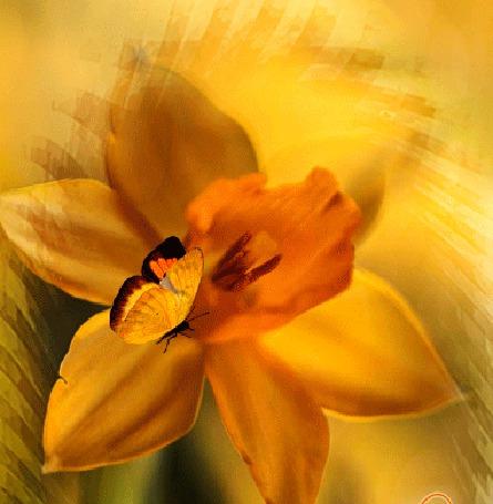 Анимация Бабочка сидит на желтом цветке нарцисса и шевелит крылышками