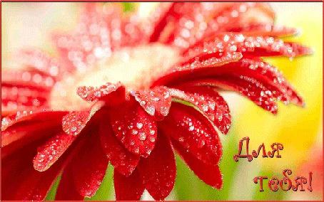 Анимация На лепестках красного гербера блестят капельки воды (Для тебя!)
