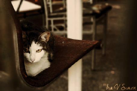 Анимация Кошка выглядывает из-за стула, by Ira V. Simon (© Seona), добавлено: 22.04.2015 12:17