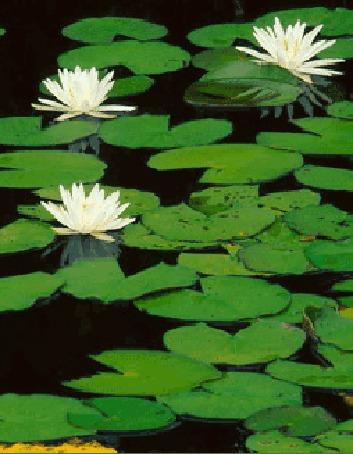 Анимация Зеленые листья и белые лилии колышутся на поверхности воды