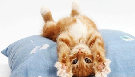 Анимация Рыжий котенок потягивается, лежа спиной на голубой подушке (© Akela), добавлено: 23.04.2015 03:09