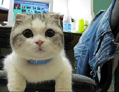 Анимация Кошка с ошейником на шее катается в кресле, возле компьютерного столика с включенным монитором и смотрит широко открытыми глазами (© Akela), добавлено: 23.04.2015 03:34