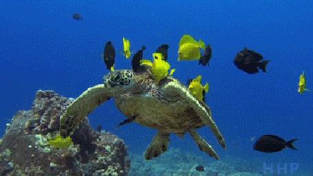 Анимация Морская черепаха плавает в стайке рыбок, которые очищают ее панцирь