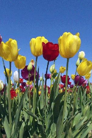 Анимация Разноцветные тюльпаны колышутся от ветра (© zmeiy), добавлено: 28.04.2015 08:35