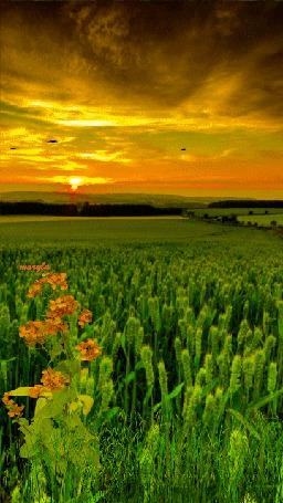 Анимация Закат в зеленом колосистом поле (© Ловетта), добавлено: 29.04.2015 09:43