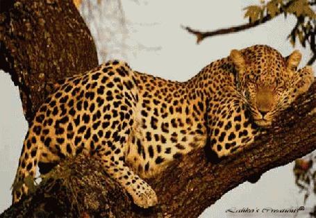 Анимация Лежащий на ветке дерева леопард превращается в красивого загорелого юношу (© Solnushko), добавлено: 29.04.2015 14:32