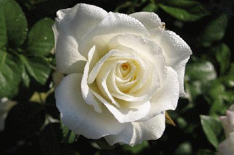 Анимация Распускающаяся белая роза (© Akela), добавлено: 01.05.2015 04:21