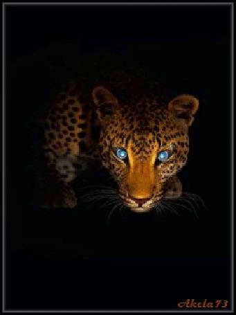 Анимация Леопард смотрит из темноты синими глазами, Akela73