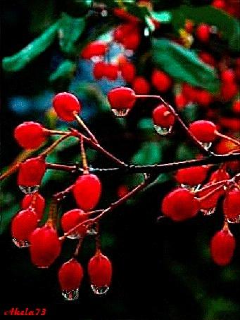Анимация Красные плоды с каплями воды, Akela 73 (© Akela), добавлено: 02.05.2015 17:10