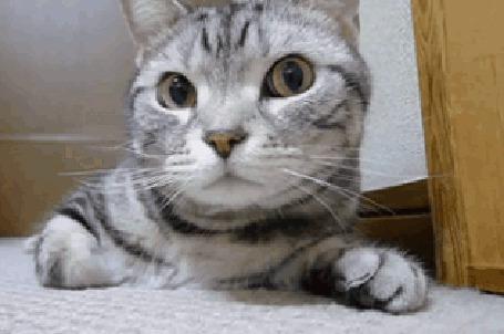 Анимация Серый котенок к чему - то принюхивается (© Anatol), добавлено: 02.05.2015 17:35