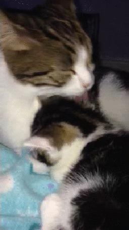 Анимация Мама - кошка вылизывает своего котенка (© Anatol), добавлено: 02.05.2015 18:21
