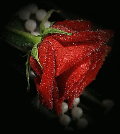 Анимация Красная роза в капельках воды
