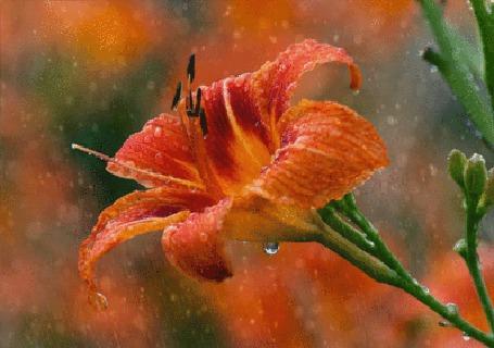 Анимация Оранжевый цветок в каплях воды под дождем (© Akela), добавлено: 03.05.2015 07:02