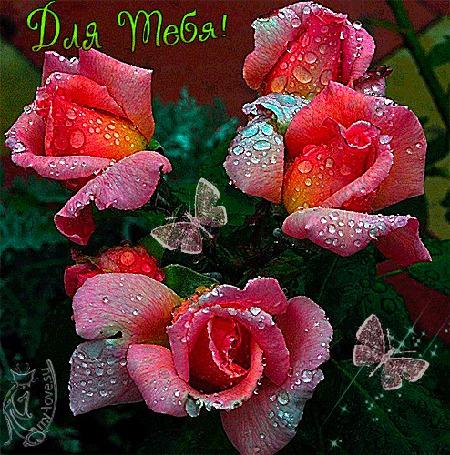 Анимация Розы в каплях росы, для тебя