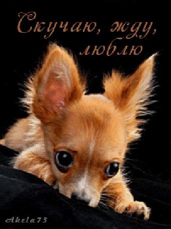Анимация Рыжая маленькая собачка пускает с глаза слезу (Скучаю, жду, люблю), Akela 73 (© Akela), добавлено: 04.05.2015 01:34