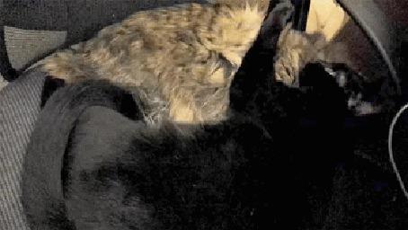 Анимация Кошки спят в обнимку и очень не хотят, чтобы им мешали (© Anatol), добавлено: 05.05.2015 00:34