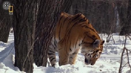 Анимация Тигр позирует перед камерой в зимнем лесу (© Anatol), добавлено: 05.05.2015 19:07
