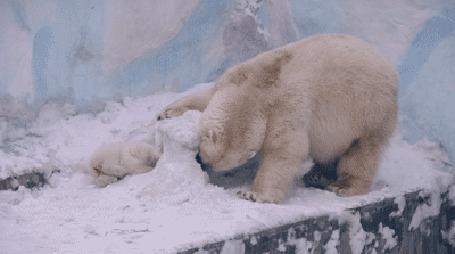 Анимация Белая медведица и медвежонок прорывают туннель в снегу, чтобы добраться друг до друга (© Anatol), добавлено: 05.05.2015 19:25