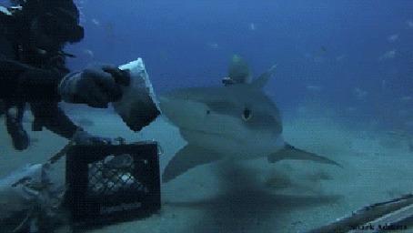 Анимация Дайвер кормит зубастую акулу в море