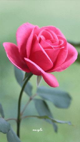 Анимация Розовая роза слегка колышется (© zmeiy), добавлено: 07.05.2015 16:28
