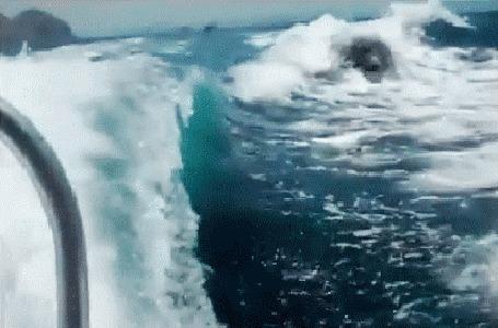Анимация Касатки мчатся за катером, выпрыгивая высоко из воды (© Akela), добавлено: 08.05.2015 15:02