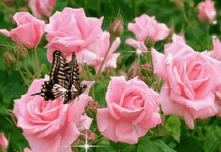 Анимация Пестрая бабочка на кусте розовых роз в лучиках солнца (© Natalika), добавлено: 08.05.2015 18:34