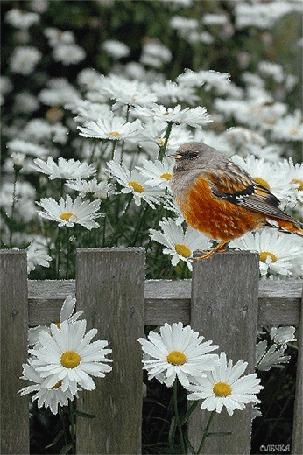 Анимация Птичка сидит на заборе, за которым растут ромашки (© zmeiy), добавлено: 08.05.2015 21:08
