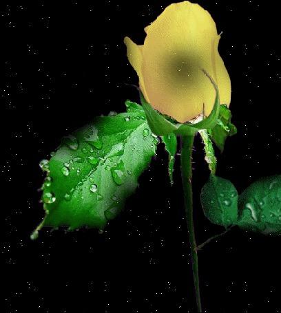 Анимация Желтая роза с зелеными листьями и каплями воды на черном фоне (© Akela), добавлено: 09.05.2015 02:34