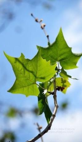 Анимация Зеленые листья на ветке дерева, на фоне голубого неба (© Akela), добавлено: 09.05.2015 02:43