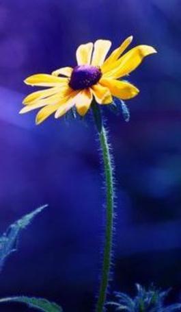 Анимация Желтая ромашка на синем фоне (© Akela), добавлено: 09.05.2015 02:44