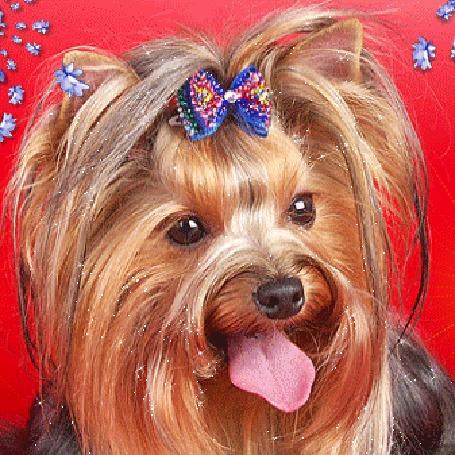 Анимация Симпатичная лохматая собачка породы йоркширский терьер, с бантиком на голове и с высунутым языком