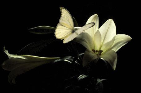 Анимация Белая бабочка машет крылышками, сидя на белом цветке лилии (© Solnushko), добавлено: 12.05.2015 17:12